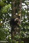 Capuchin monkey in Costa Rica [costa_rica_la_selva_0733]