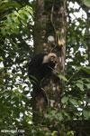 Capuchin monkey in Costa Rica [costa_rica_la_selva_0734]