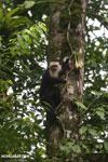 Capuchin monkey in Costa Rica [costa_rica_la_selva_0736]