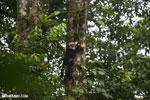 Capuchin monkey in Costa Rica [costa_rica_la_selva_0739]