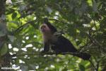 Capuchin monkey in Costa Rica [costa_rica_la_selva_0741]
