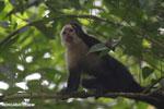 Capuchin monkey in Costa Rica [costa_rica_la_selva_0742]