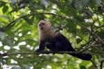 Capuchin monkey in Costa Rica [costa_rica_la_selva_0744]