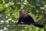 Capuchin monkey in Costa Rica [costa_rica_la_selva_0746]