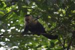 Capuchin monkey in Costa Rica [costa_rica_la_selva_0747]