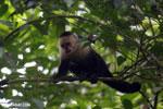 Capuchin monkey in Costa Rica [costa_rica_la_selva_0748]