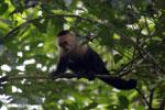 Capuchin monkey in Costa Rica [costa_rica_la_selva_0749]