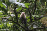 Capuchin monkey in Costa Rica [costa_rica_la_selva_0751]