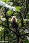 Capuchin monkey in Costa Rica [costa_rica_la_selva_0752]