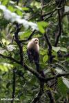 Capuchin monkey in Costa Rica [costa_rica_la_selva_0753]