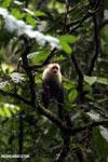 Capuchin monkey in Costa Rica [costa_rica_la_selva_0754]