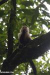 Capuchin monkey in Costa Rica [costa_rica_la_selva_0757]