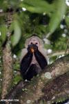 Capuchin monkey in Costa Rica [costa_rica_la_selva_0759]