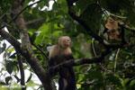 Capuchin monkey in Costa Rica [costa_rica_la_selva_0760]