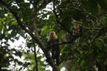 Capuchin monkey in Costa Rica [costa_rica_la_selva_0761]