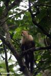 Capuchin monkey in Costa Rica [costa_rica_la_selva_0762]