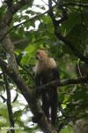 Capuchin monkey in Costa Rica [costa_rica_la_selva_0763]