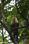 Capuchin monkey in Costa Rica [costa_rica_la_selva_0764]