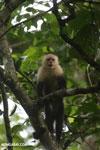 Capuchin monkey in Costa Rica [costa_rica_la_selva_0765]