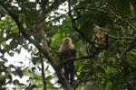 Capuchin monkey in Costa Rica [costa_rica_la_selva_0766]