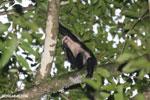 Capuchin monkey in Costa Rica [costa_rica_la_selva_0767]