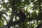 Capuchin monkey in Costa Rica [costa_rica_la_selva_0768]