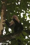 Capuchin monkey in Costa Rica [costa_rica_la_selva_0769]