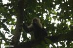 Capuchin monkey in Costa Rica [costa_rica_la_selva_0771]