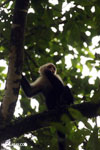 Capuchin monkey in Costa Rica [costa_rica_la_selva_0773]