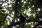 Capuchin monkey in Costa Rica [costa_rica_la_selva_0774]