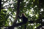 Capuchin monkey in Costa Rica [costa_rica_la_selva_0777]