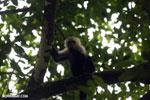 Capuchin monkey in Costa Rica [costa_rica_la_selva_0778]