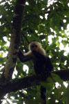 Capuchin monkey in Costa Rica [costa_rica_la_selva_0779]