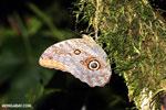 Butterfly [costa_rica_la_selva_0783]