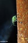 Weevil [costa_rica_la_selva_0785]