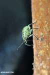 Weevil [costa_rica_la_selva_0786]