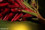 Craugastor crassidigitus frog [costa_rica_la_selva_0790]