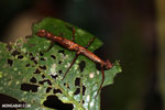 Stick insects [costa_rica_la_selva_0792]
