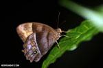 Butterfly [costa_rica_la_selva_0799]