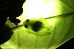 Glass frog [costa_rica_la_selva_0809]
