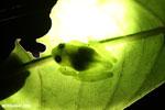 Glass frog [costa_rica_la_selva_0809]