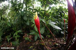Flowers [costa_rica_la_selva_0845]