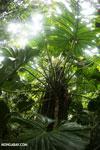 Philodendrons [costa_rica_la_selva_0846]