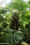 Philodendrons [costa_rica_la_selva_0848]