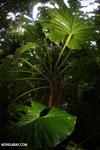 Philodendrons [costa_rica_la_selva_0851]