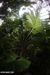 Philodendrons [costa_rica_la_selva_0852]