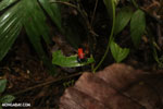 Strawberry poison-dart frog (Oophaga pumilio) [costa_rica_la_selva_0870]