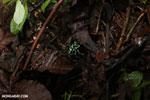 Auratus dart frogs fighting [costa_rica_la_selva_0873]