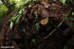 Auratus dart frogs fighting [costa_rica_la_selva_0876]