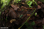 Auratus dart frogs fighting [costa_rica_la_selva_0886]